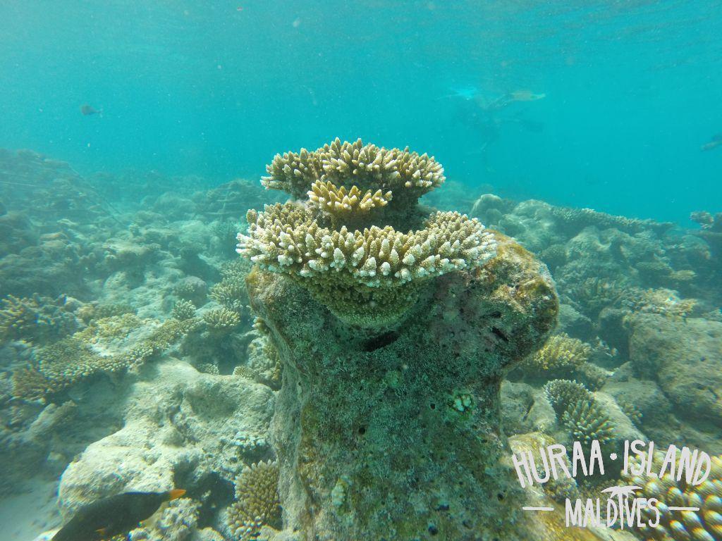 Snorkeling Maldives Best Guest House In Maldives Huraa