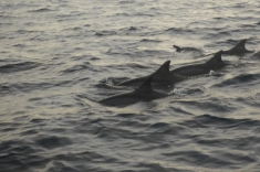 Maldives trip - Dolphins watching