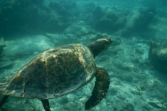 Maldives, Huraa, turtle snorkeling