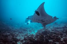manta-maldives